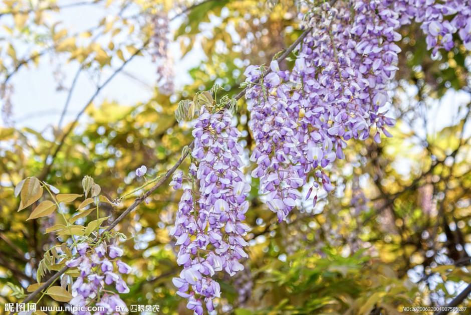 紫藤花图片唯美壁纸高清