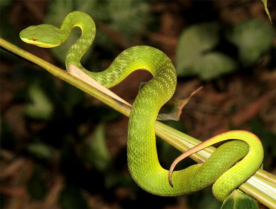 极具毒性的竹叶青蛇图片欣赏