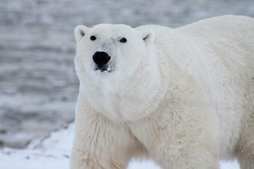 憨态可掬的北极熊图片(15张)