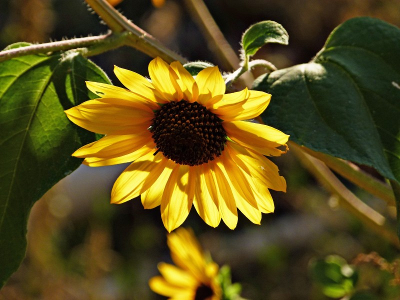 盛开的向日葵图片(16张)