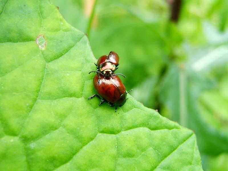 绿叶上的瓢虫图片(16张)