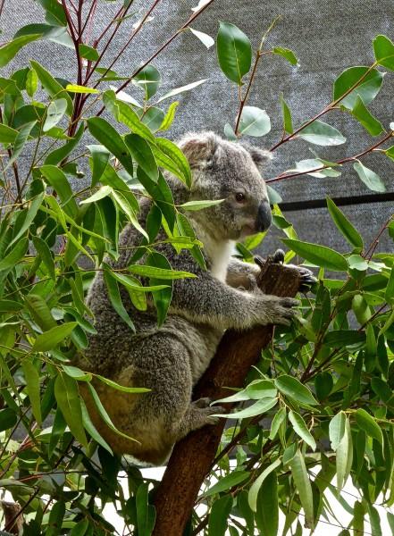 树上攀爬的考拉图片(13张)