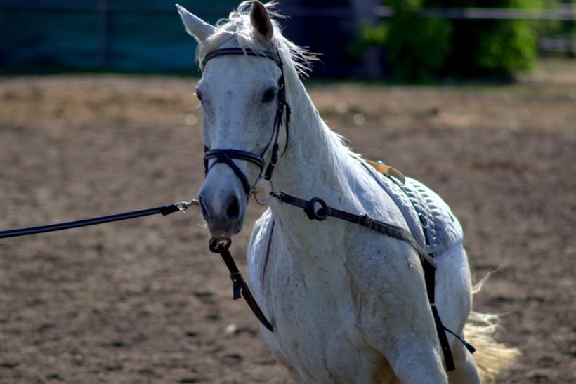一匹俊美的白马图片(13张)