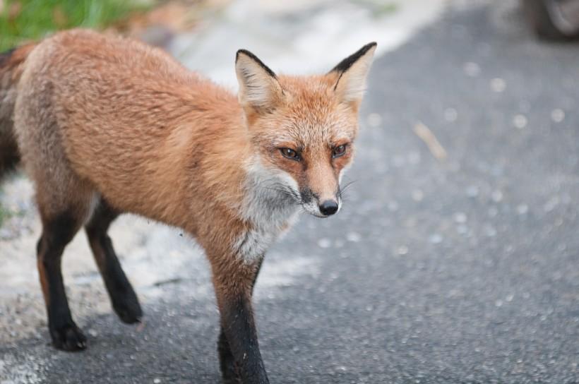 狡诈的狐狸图片(11张)