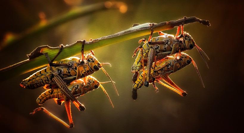 叶子上的蝗虫图片(11张)