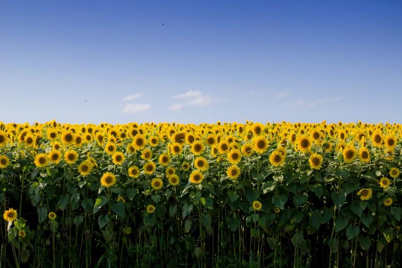 金黄色的向日葵田图片(11张)