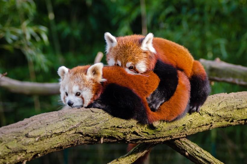 可爱小熊猫图片(16张)
