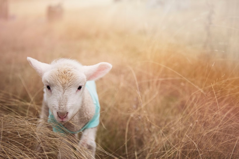 毛绒绒的绵羊图片(11张)