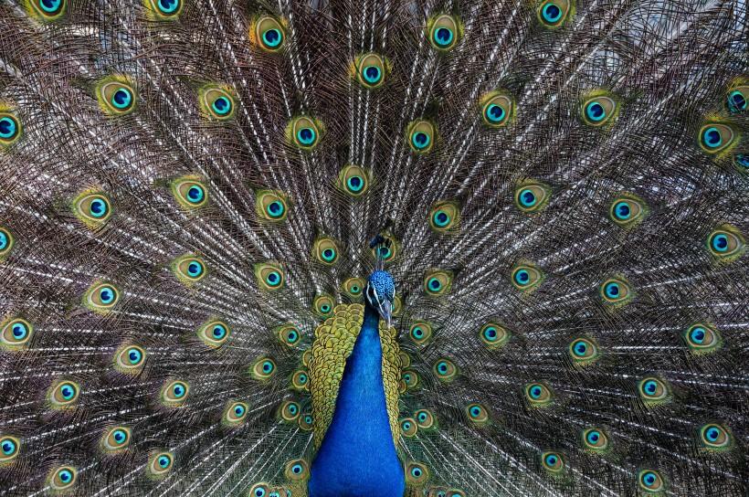 美丽的孔雀图片(29张)