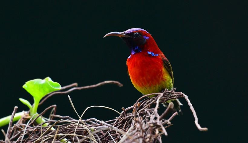 太阳鸟采花图片(5张)