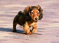 精致小巧的迷你腊肠犬图片