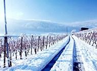 葡萄园迷人雪景高清风光壁纸