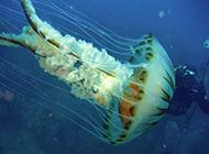 美丽的海底世界水母图片特写