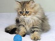 金吉拉猫图片惹人怜爱