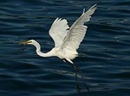 海上觅食的白鹭鸟类图片素材