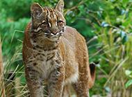 小金猫野外捕食图片