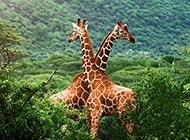 长颈鹿图片大全可爱浪漫