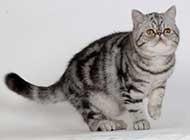 美国短毛猫可爱干净唯美写真