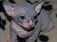 加拿大斯芬克斯猫幼崽图片可爱小巧