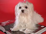 优雅高贵的长毛马尔济斯犬图片