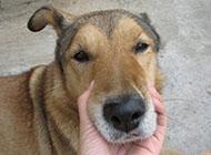 中华田园犬搞笑头部图片