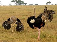 美洲鸵鸟荒野散步图片