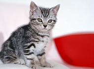 娇小的茶杯猫图片大全可爱