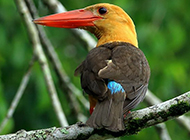可爱的动物荆棘鸟图片