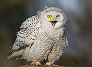 可爱猫头鹰纯白色雪鸮图片
