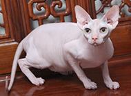 斯芬克斯猫图片姿态警惕戒备