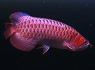 世界罕见的红龙鱼图片高清壁纸