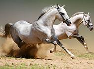 奔驰的白色骏马图片场景壮阔