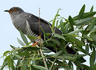 关于布谷鸟的图片欣赏