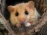 调皮可爱的榛睡鼠图片