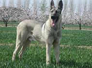日本狼青犬春日花园帅气特写图片