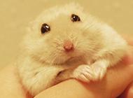 握在手里的白布丁仓鼠图片