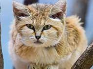 刚睡醒的沙丘猫高清唯美图片