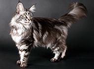 气质高贵典雅的缅因猫图片