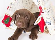可爱拉布拉多犬圣诞主题摄影图片