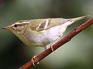 小型鸟类黄莺图片大全特写