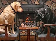 狗狗爆笑图片之下围棋