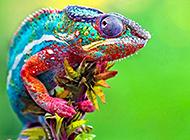 斑斓色彩的七彩变色龙特写图片