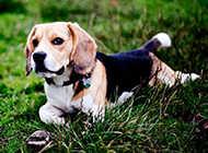 米格鲁猎兔犬坚定眼神图片