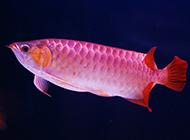 红龙鱼高清图片电脑壁纸