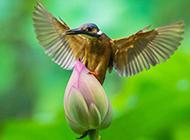 荷塘翠鸟唯美风景图片壁纸
