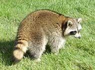 野外抓拍浣熊高清图片