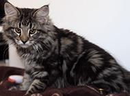 挪威森林猫乖巧害羞图片大全