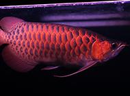 精品红龙鱼图片色彩靓丽
