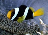 海底戏耍的小丑鱼图片