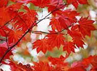香山秋天枫叶美景壁纸